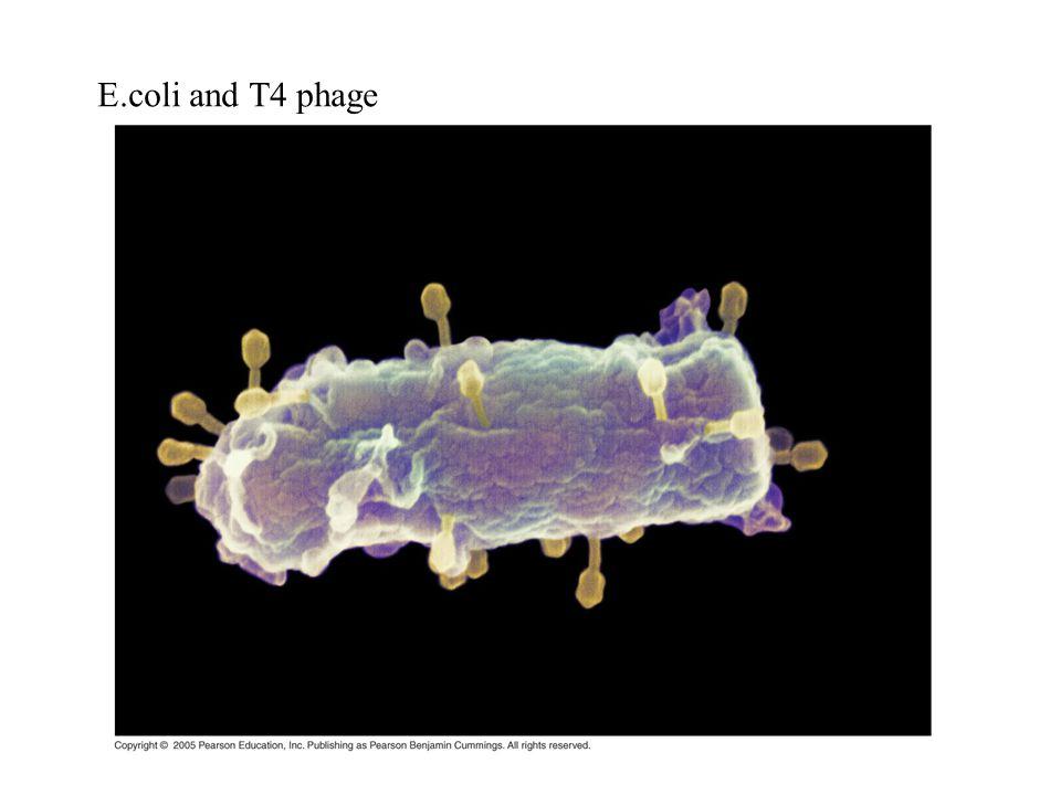 E.coli and T4 phage