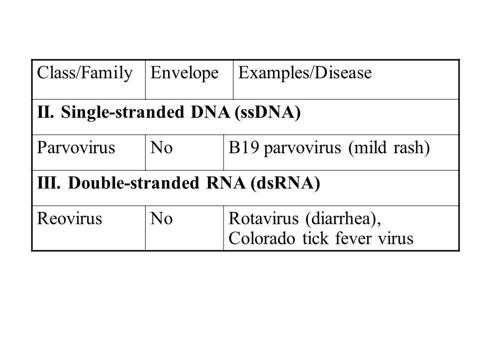 Class/FamilyEnvelopeExamples/Disease II. Single-stranded DNA (ssDNA) ParvovirusNoB19 parvovirus (mild rash) III. Double-stranded RNA (dsRNA) ReovirusN