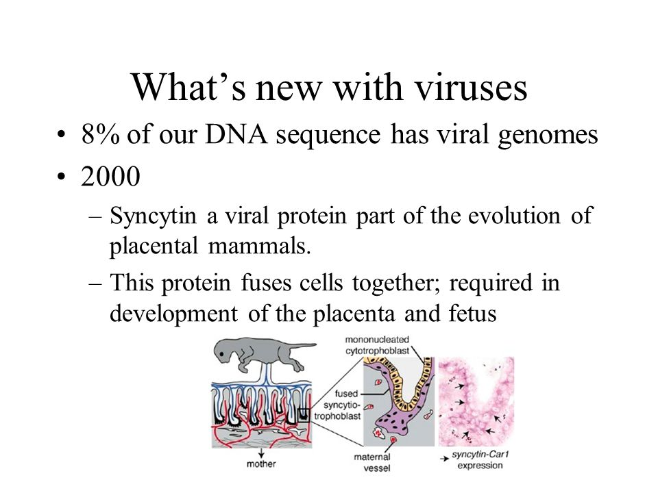 Whats new with viruses 8% of our DNA sequence has viral genomes 2000 –Syncytin a viral protein part of the evolution of placental mammals. –This prote