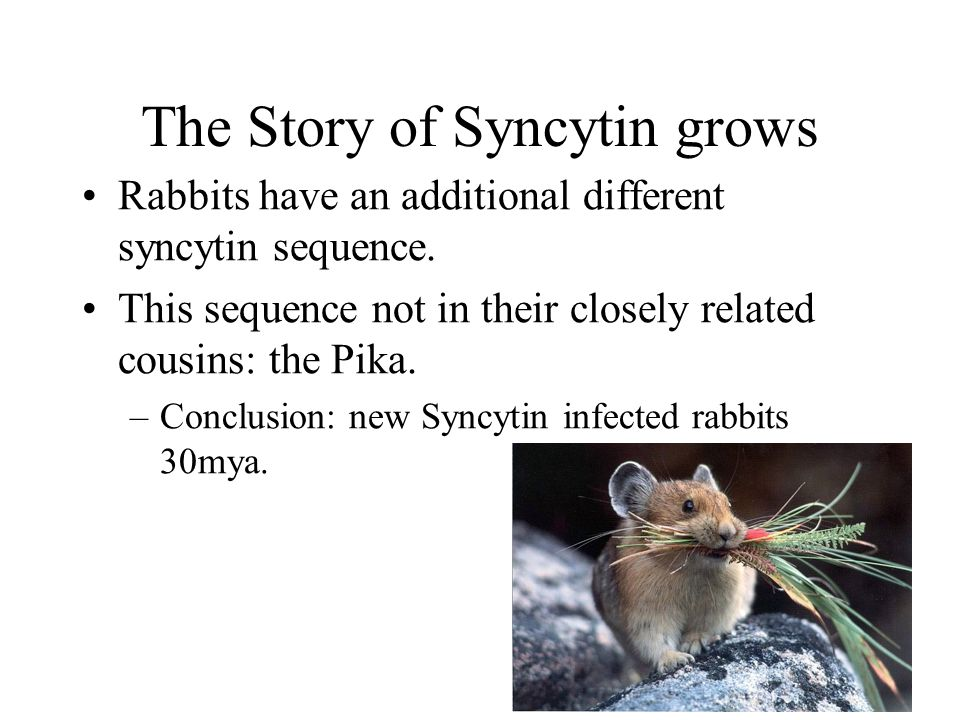 The Story of Syncytin grows Rabbits have an additional different syncytin sequence. This sequence not in their closely related cousins: the Pika. –Con