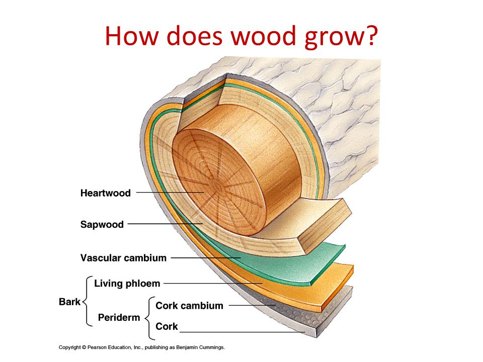 How does wood grow