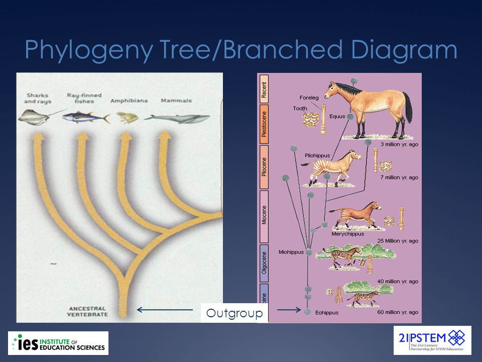Phylogeny Tree/Branched Diagram Outgroup