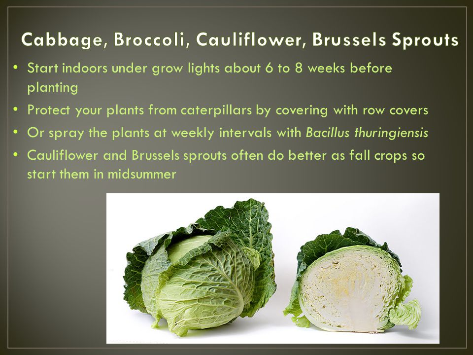 Start indoors under grow lights about 6 to 8 weeks before planting Protect your plants from caterpillars by covering with row covers Or spray the plants at weekly intervals with Bacillus thuringiensis Cauliflower and Brussels sprouts often do better as fall crops so start them in midsummer