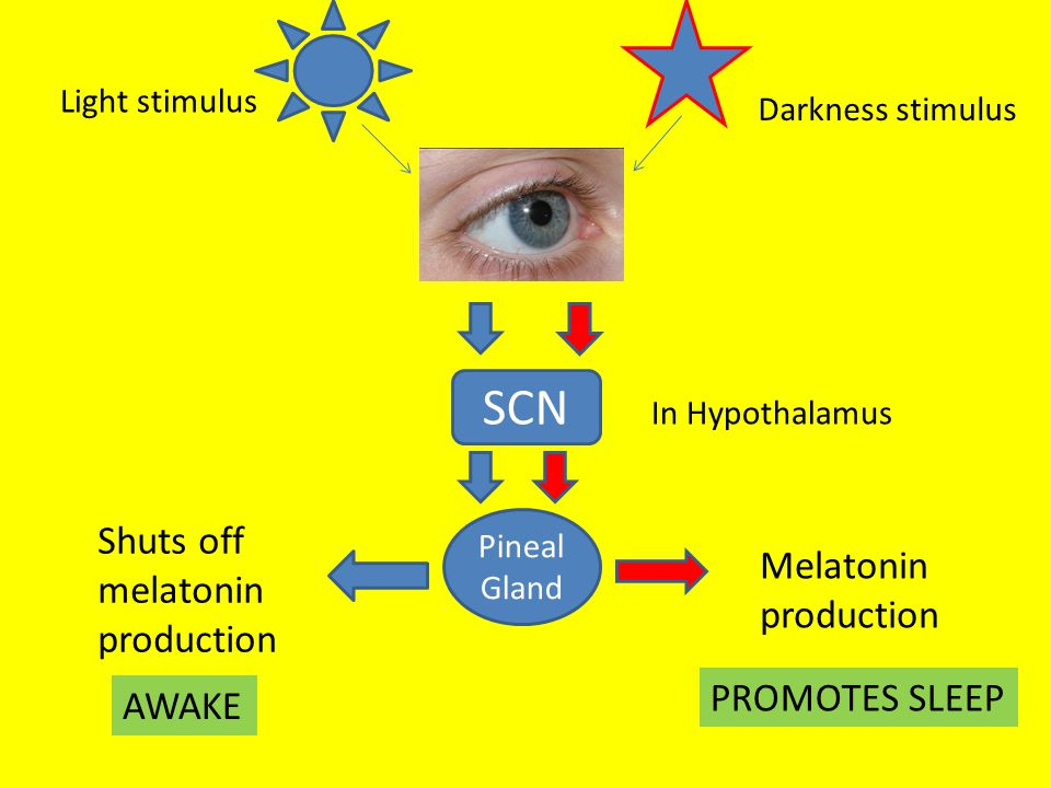 SCN Pineal Gland Melatonin production PROMOTES SLEEP Shuts off melatonin production AWAKE Light stimulus Darkness stimulus In Hypothalamus