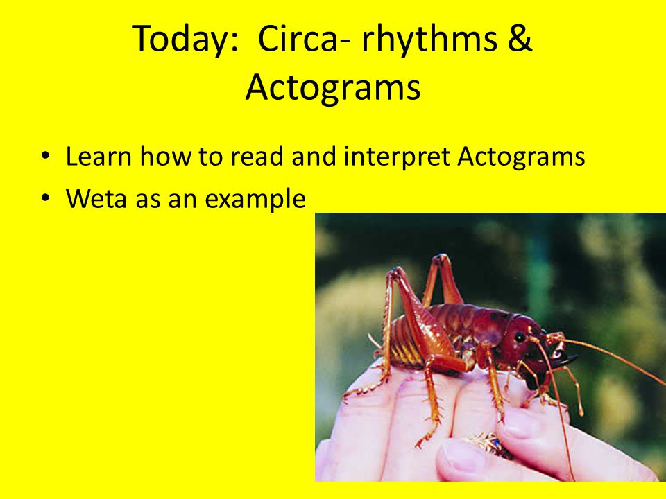 Today: Circa- rhythms & Actograms Learn how to read and interpret Actograms Weta as an example