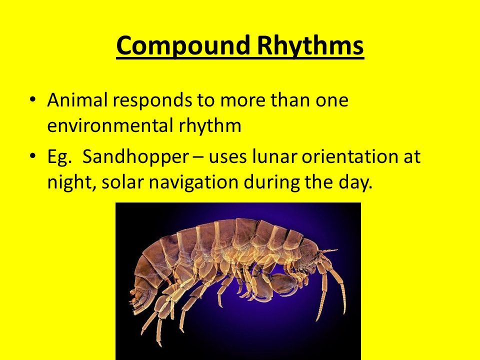 Compound Rhythms Animal responds to more than one environmental rhythm Eg.