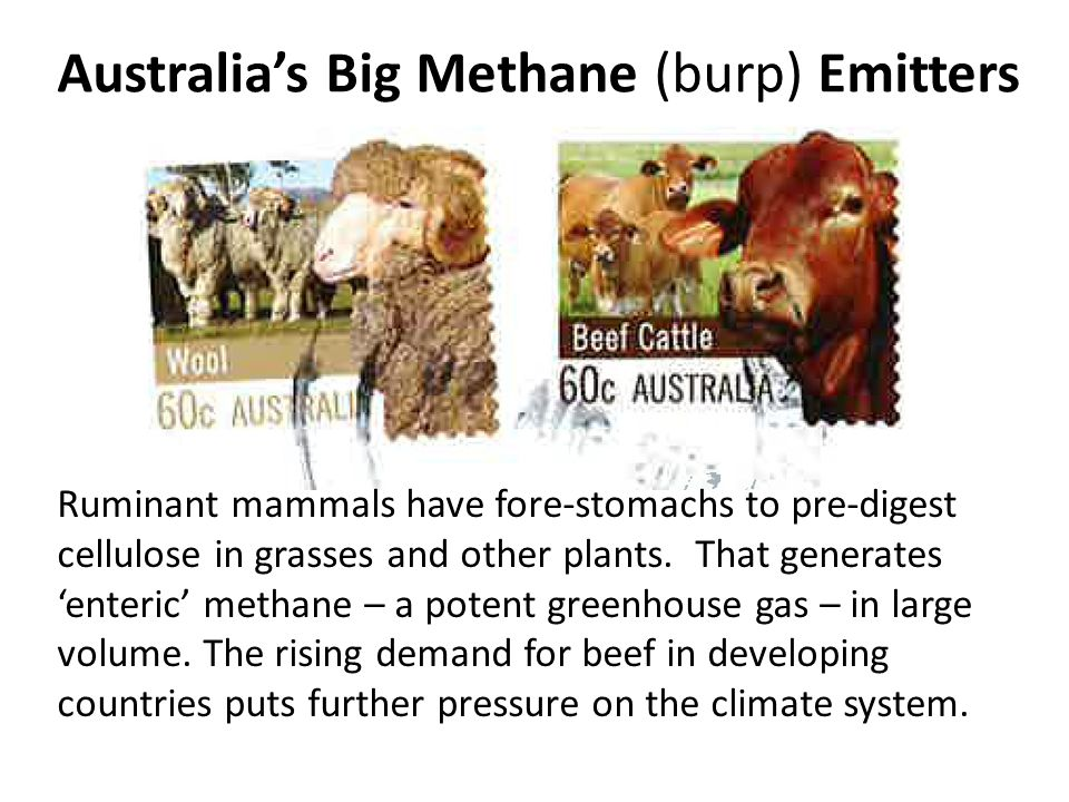 Australias Big Methane (burp) Emitters Ruminant mammals have fore-stomachs to pre-digest cellulose in grasses and other plants.