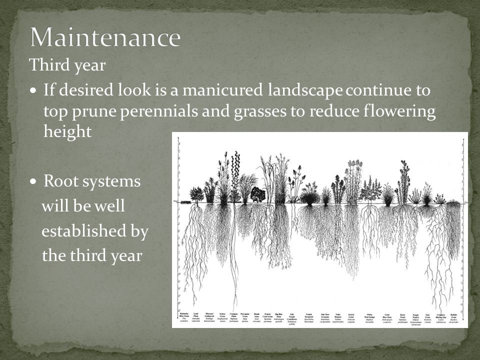 Third year If desired look is a manicured landscape continue to top prune perennials and grasses to reduce flowering height Root systems will be well established by the third year
