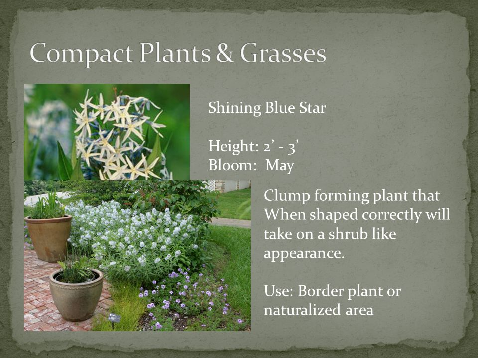 Shining Blue Star Height: 2 - 3 Bloom: May Clump forming plant that When shaped correctly will take on a shrub like appearance.