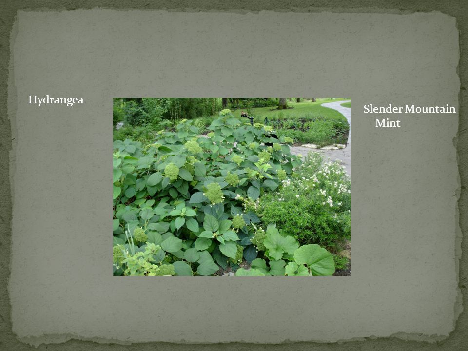 Hydrangea Slender Mountain Mint