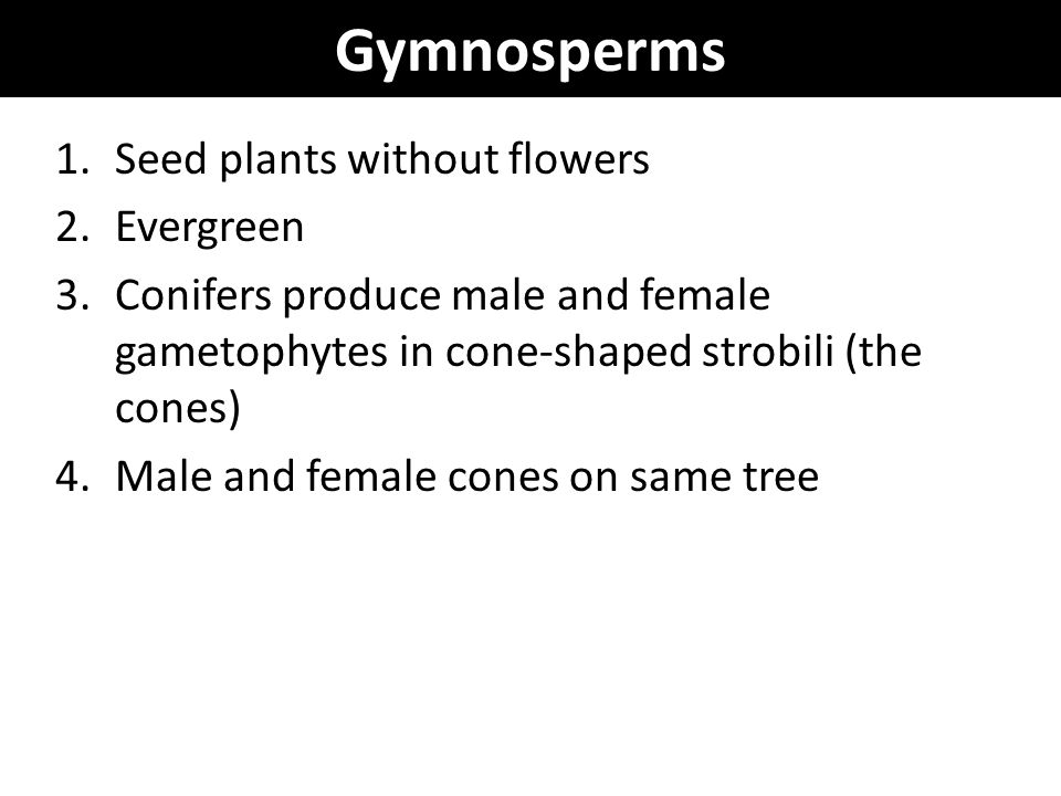 Gymnosperms 1.Seed plants without flowers 2.Evergreen 3.Conifers produce male and female gametophytes in cone-shaped strobili (the cones) 4.Male and f