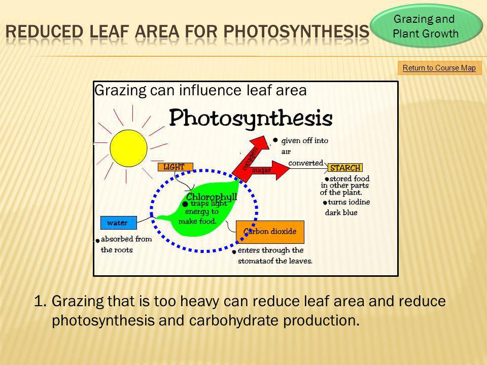 Return to Course Map Grazing and Plant Growth 1.Grazing that is too heavy can reduce leaf area and reduce photosynthesis and carbohydrate production.