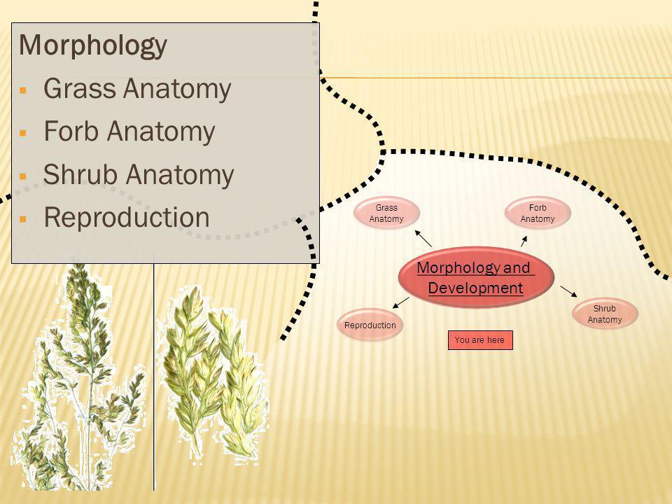 Grass Anatomy Forb Anatomy Shrub Anatomy Reproduction You are here Reproduction Grass Anatomy Forb Anatomy Shrub Anatomy Morphology and Development