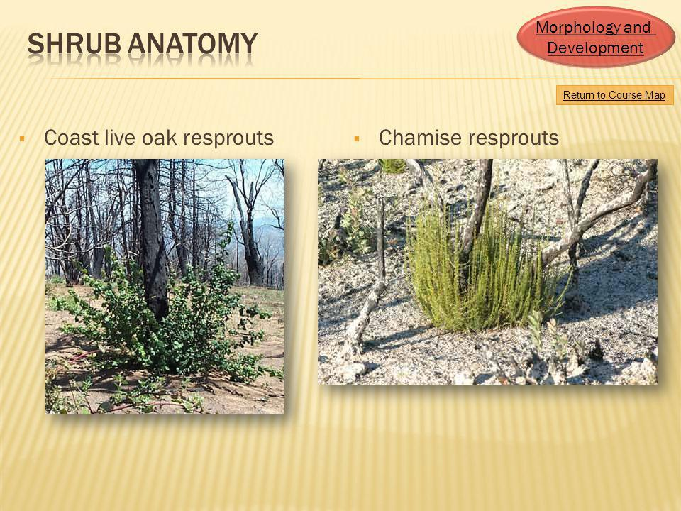 Coast live oak resprouts Chamise resprouts Return to Course Map Morphology and Development