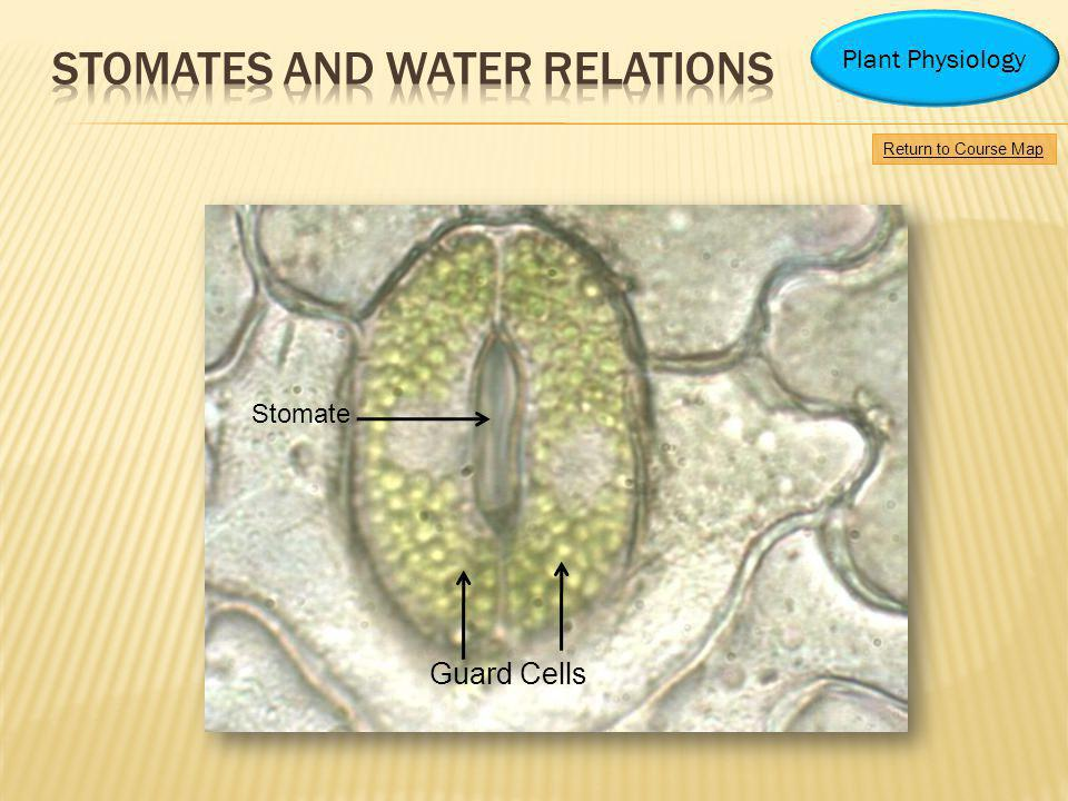 Guard Cells Stomate Return to Course Map Plant Physiology