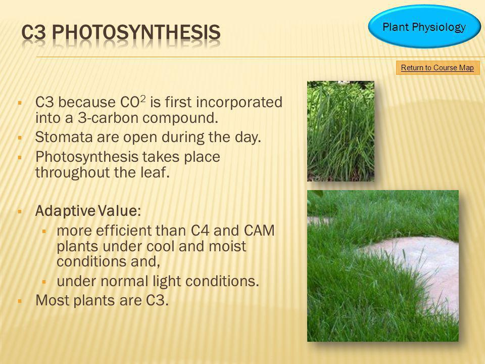 C3 because CO 2 is first incorporated into a 3-carbon compound. Stomata are open during the day. Photosynthesis takes place throughout the leaf. Adapt