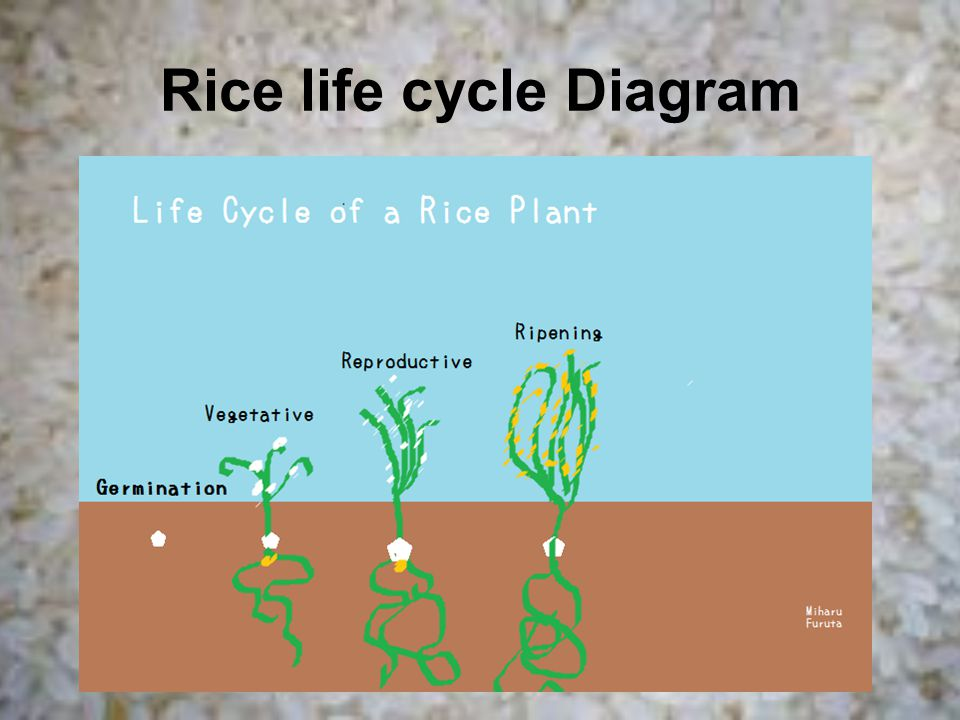 Rice life cycle Diagram