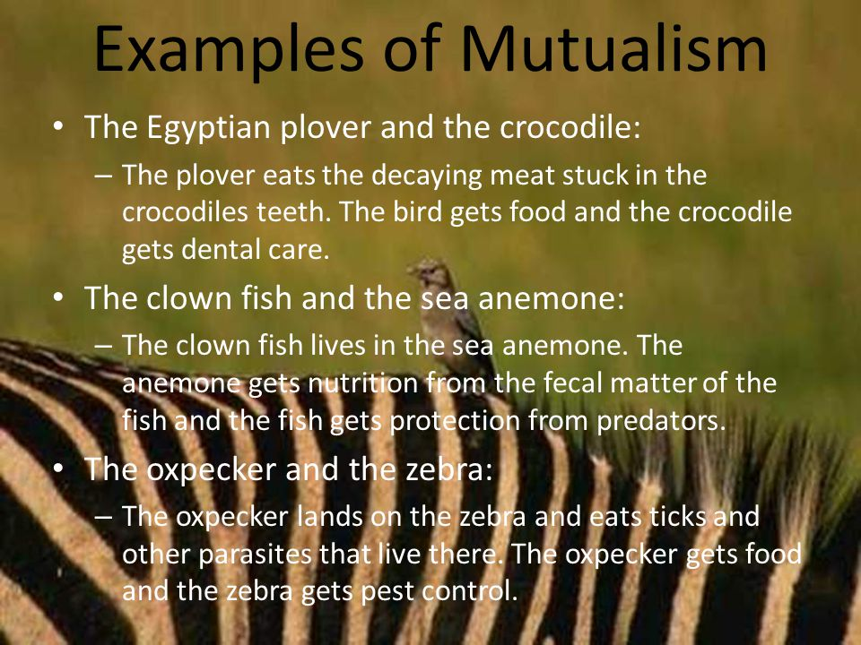 Examples of Mutualism The Egyptian plover and the crocodile: – The plover eats the decaying meat stuck in the crocodiles teeth.