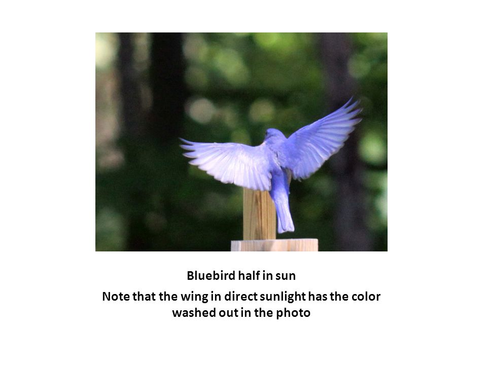 Bluebird half in sun Note that the wing in direct sunlight has the color washed out in the photo