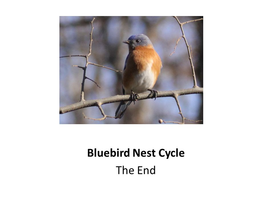 Bluebird Nest Cycle The End