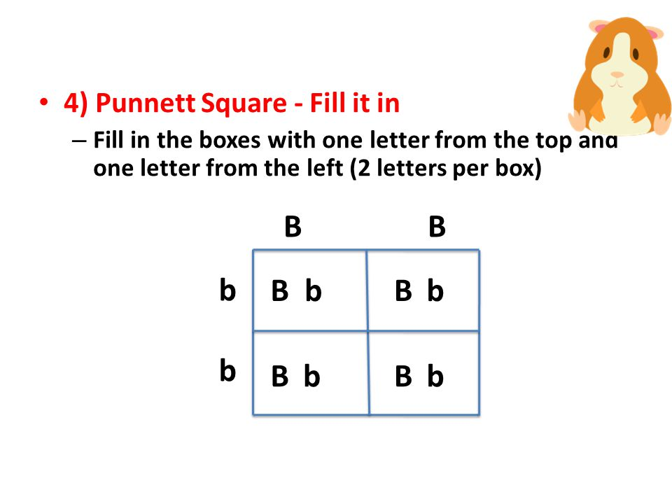 3) Punnett Square - Set it up – Draw a square and divide into four sections – Write the genotype (letters) from one parent on top (one letter per box) – Write the genotype from the other parent along the left side BB bbbb