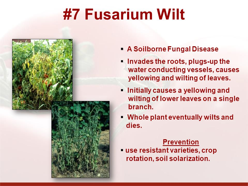 #7 Fusarium Wilt A Soilborne Fungal Disease Invades the roots, plugs-up the water conducting vessels, causes yellowing and wilting of leaves.