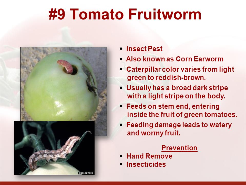 #9 Tomato Fruitworm Insect Pest Also known as Corn Earworm Caterpillar color varies from light green to reddish-brown.