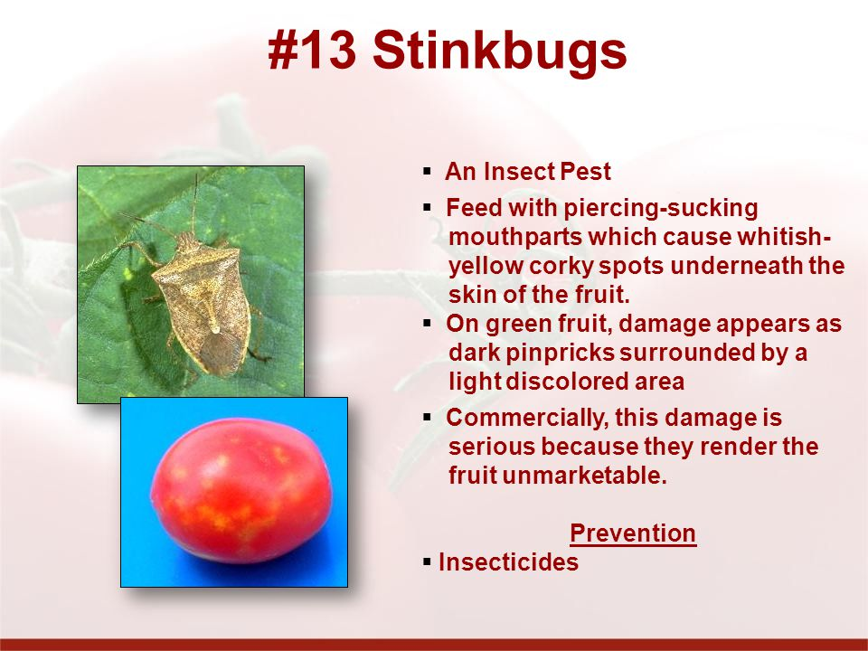 #13 Stinkbugs An Insect Pest Feed with piercing-sucking mouthparts which cause whitish- yellow corky spots underneath the skin of the fruit.