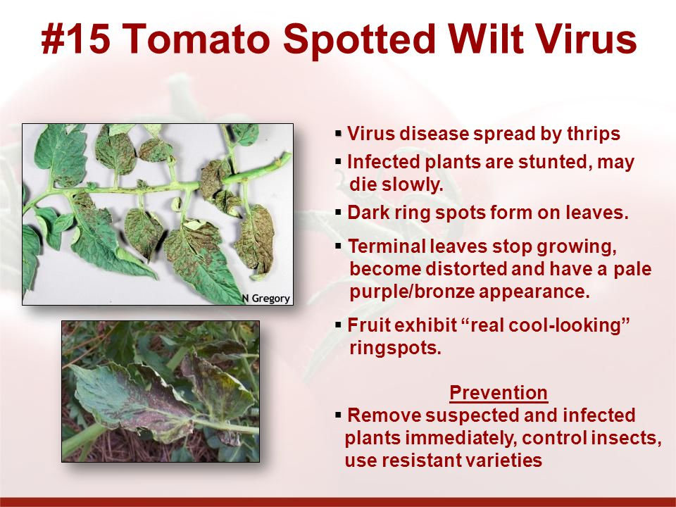 #15 Tomato Spotted Wilt Virus Virus disease spread by thrips Infected plants are stunted, may die slowly.