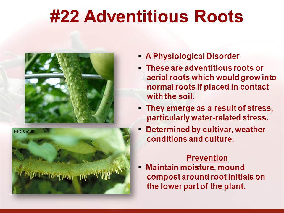 #22 Adventitious Roots A Physiological Disorder These are adventitious roots or aerial roots which would grow into normal roots if placed in contact with the soil.