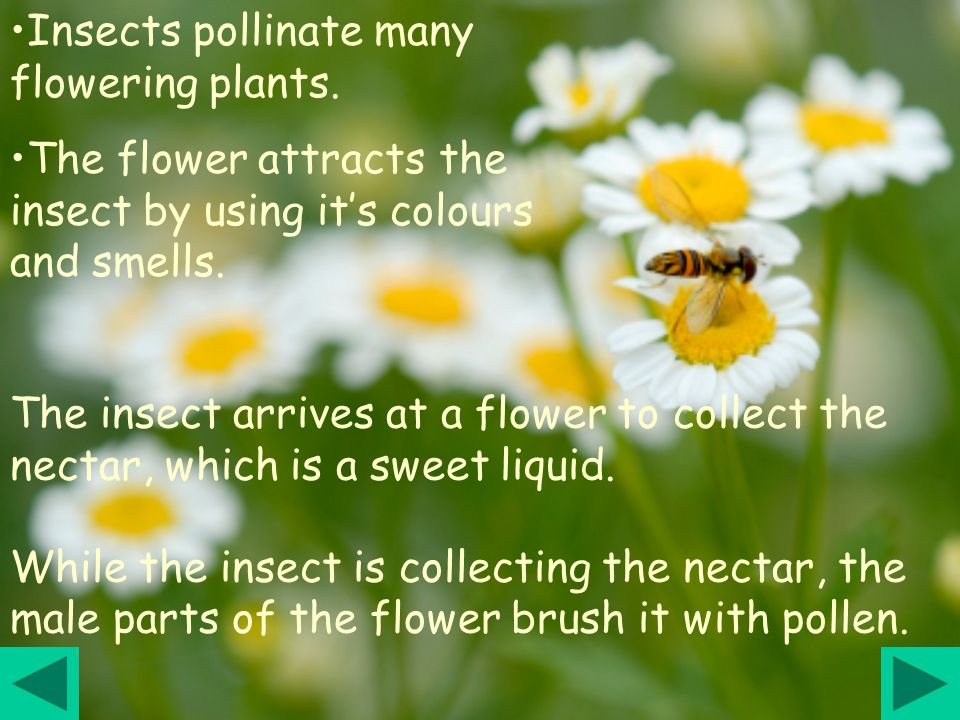 Insects pollinate many flowering plants.