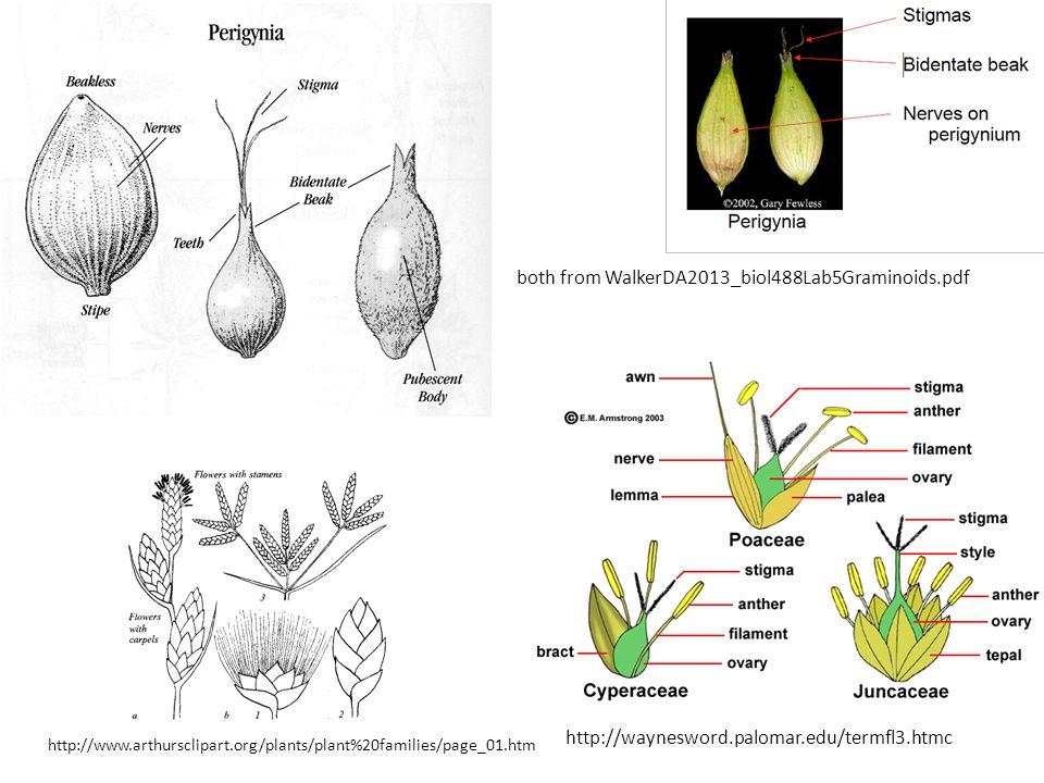 both from WalkerDA2013_biol488Lab5Graminoids.pdf http://waynesword.palomar.edu/termfl3.htmc http://www.arthursclipart.org/plants/plant%20families/page_01.htm