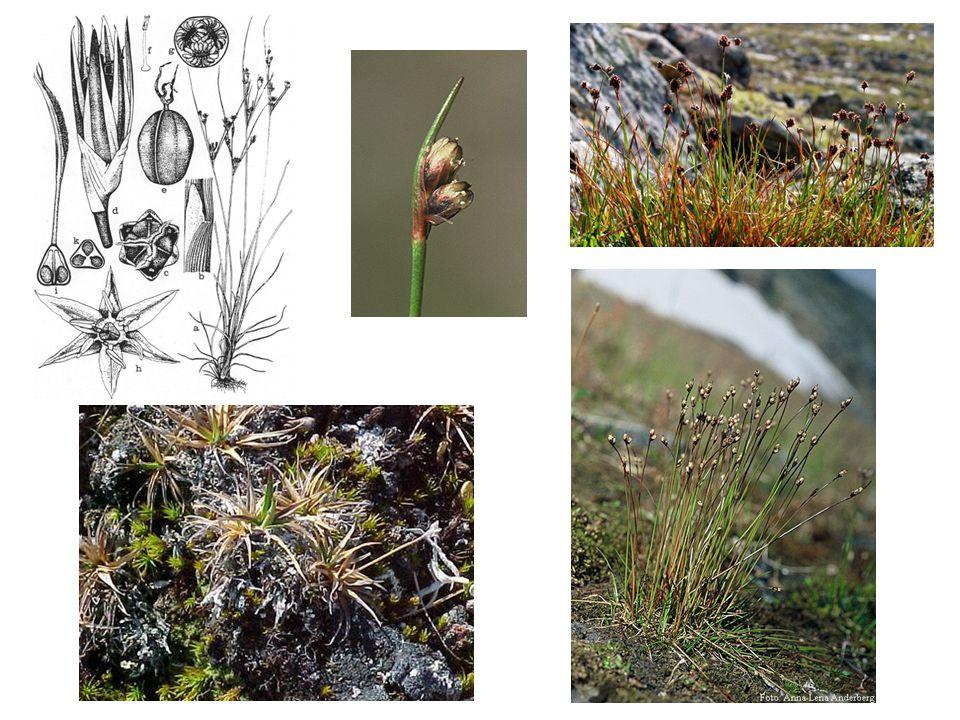 Cyperaceae Family Characteristics Family of monocotyledonous graminoids.