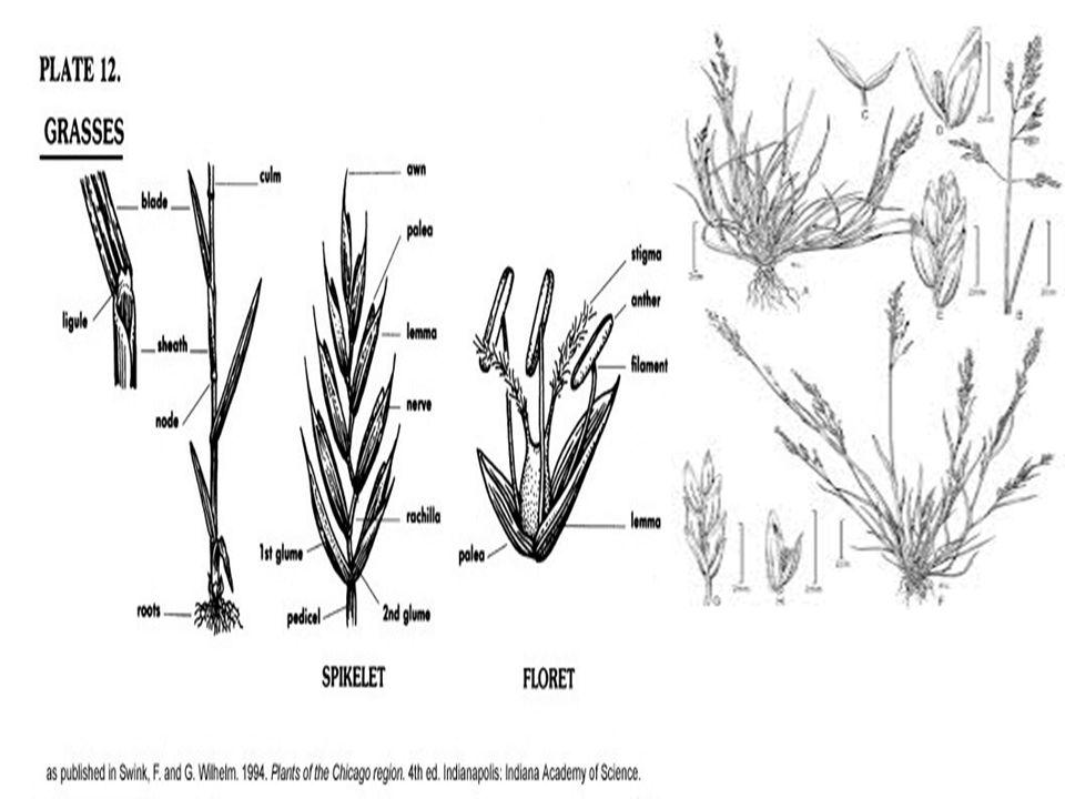 Grass morophology slides courtesy of Wildland Field Plant Identification, Range 252, University of Idaho, http://www.cnr.uidaho.edu/ rem252/.