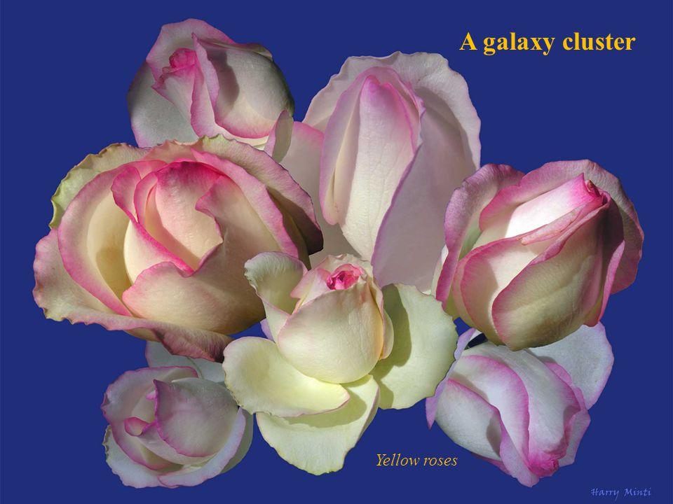 Pleiades Carduus nutans