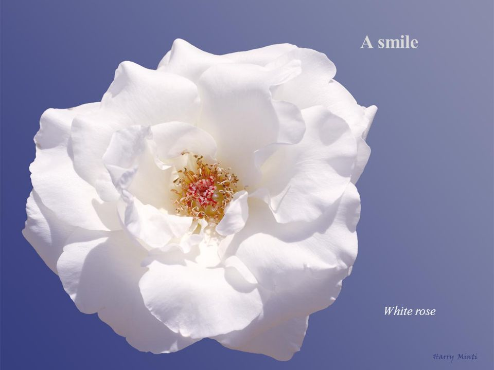 A smile White rose
