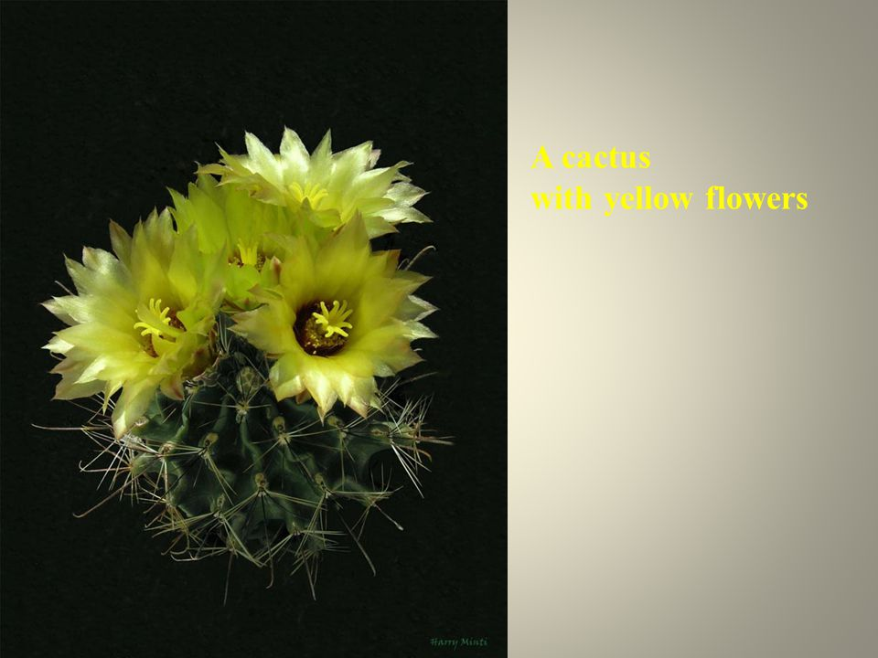 A cactus with yellow flowers