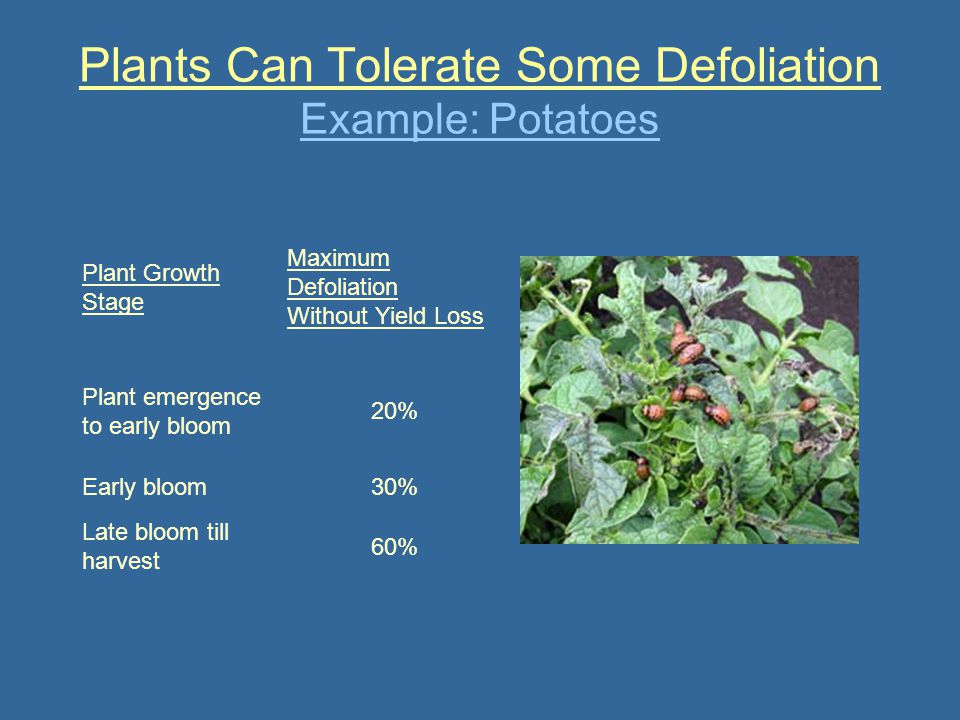 Plants Can Tolerate Some Defoliation Example: Potatoes Plant Growth Stage Maximum Defoliation Without Yield Loss Plant emergence to early bloom 20% Ea