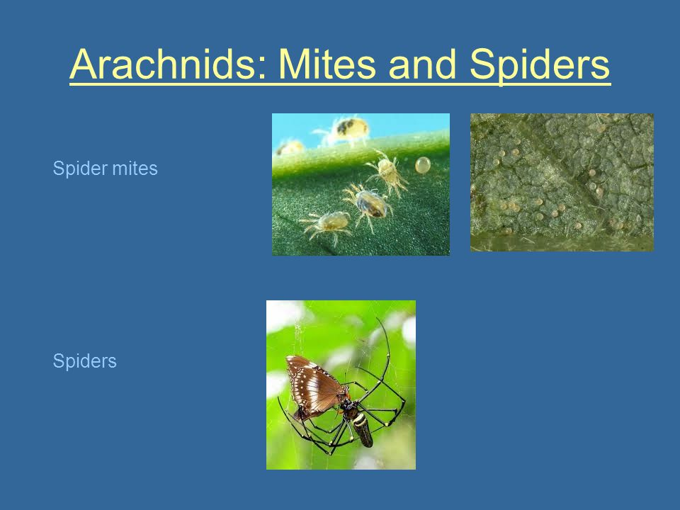 Arachnids: Mites and Spiders Spider mites Spiders