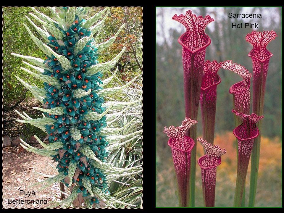 Banksia coccinea