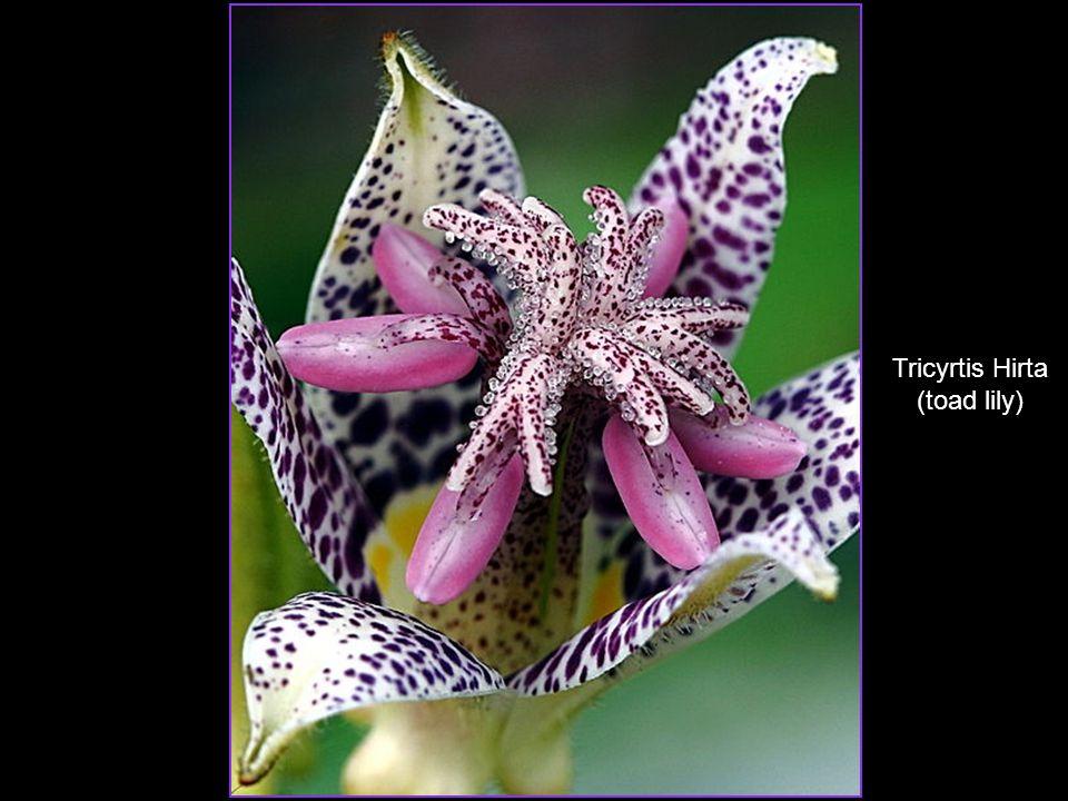 Puya Berteroniana Sarracenia Hot Pink
