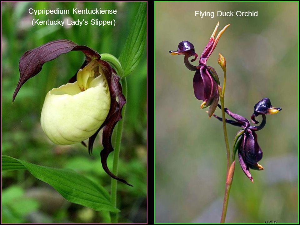 Calotropis Gigantea (Crown Flower)