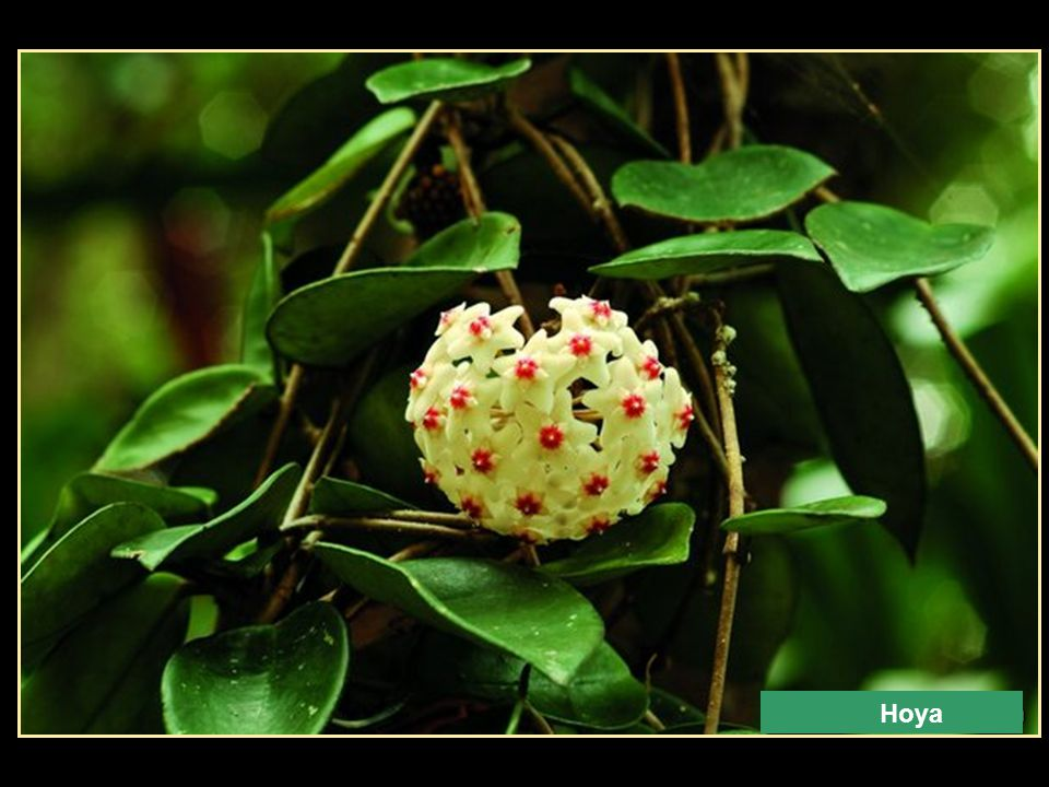 Red Grevillea Spider Flower Monstera Deliciosa
