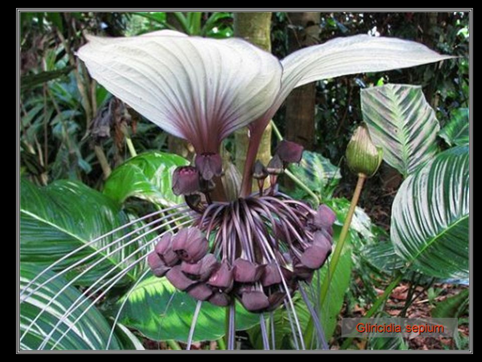 Psychotria poeppigiana (labios de puta)