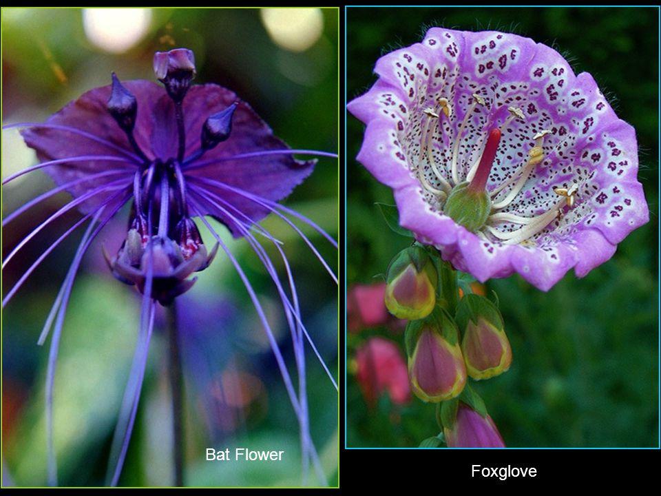 Eucalyptus FlowerWild Orchids