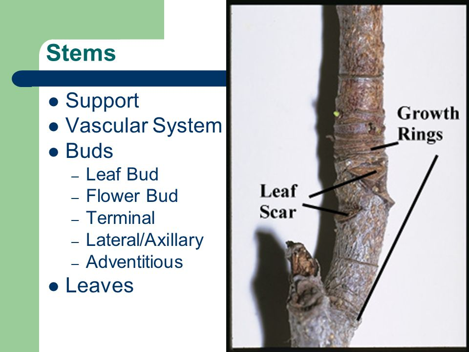 Stems Support Vascular System Buds – Leaf Bud – Flower Bud – Terminal – Lateral/Axillary – Adventitious Leaves