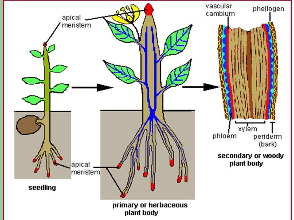 Meristems Primary Growth – apical meristem or apex Secondary Growth – Vascular cambium or cambium