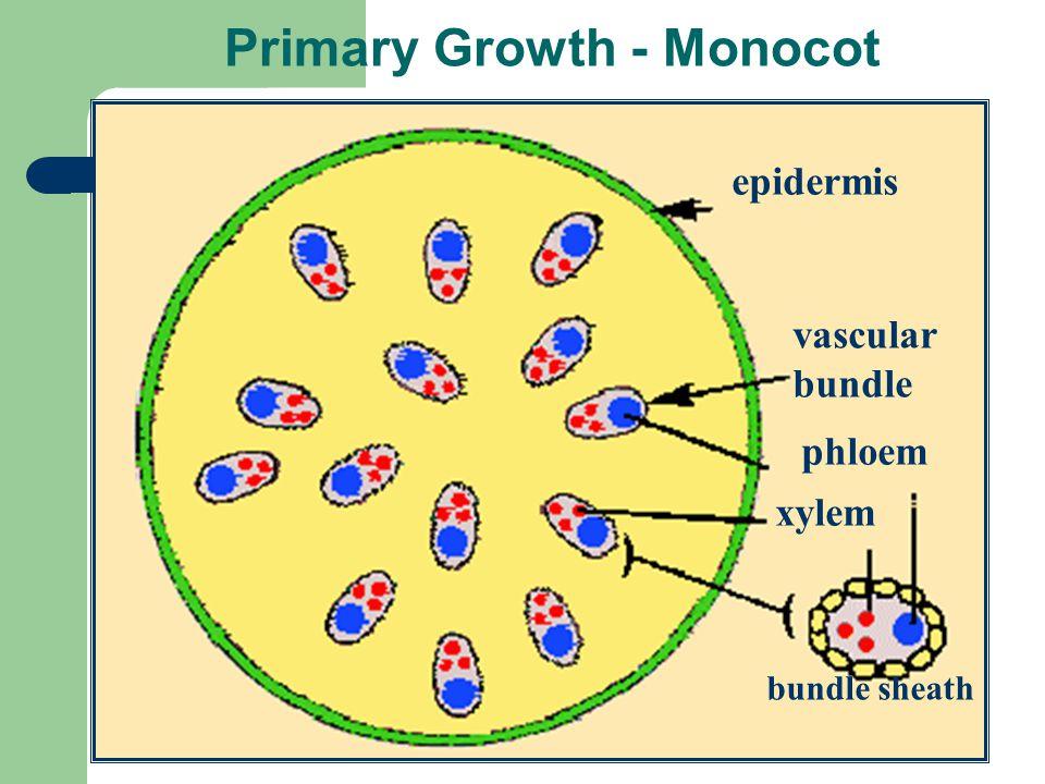 Primary Growth - Monocot epidermis vascular bundle phloem xylem bundle sheath