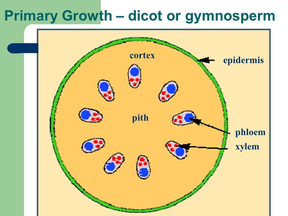 Primary Growth – dicot or gymnosperm epidermis phloem xylem pith cortex