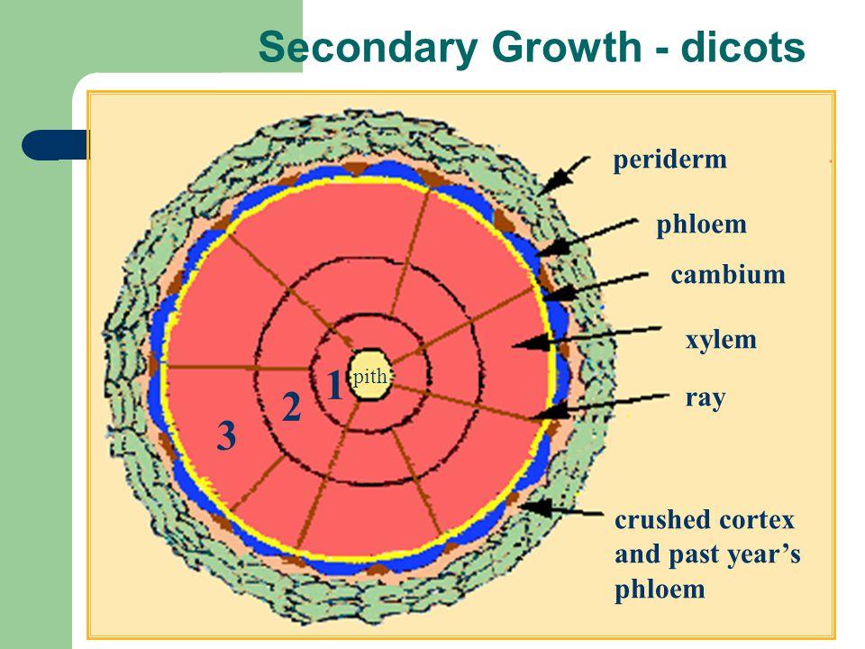 Secondary Growth - dicots periderm phloem cambium xylem ray crushed cortex and past years phloem 3 2 1 pith